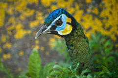 Peacock σε έναν ρωσικό ζωολογικό κήπο Στοκ φωτογραφίες με δικαίωμα ελεύθερης χρήσης