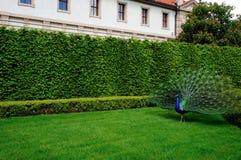 Peacock σε ένα λιβάδι Στοκ Φωτογραφίες