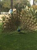 Peacock σε Carlsbad Στοκ φωτογραφίες με δικαίωμα ελεύθερης χρήσης