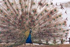 Peacock σε Lazienki ή βασιλικό πάρκο λουτρών στη Βαρσοβία στην Πολωνία Στοκ Εικόνες