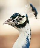 Peacock στην επίδειξη στοκ εικόνες με δικαίωμα ελεύθερης χρήσης