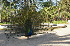 Peacock στην ερωτοτροπία στοκ εικόνες με δικαίωμα ελεύθερης χρήσης