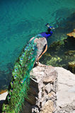 Peacock στην μπλε λίμνη στην Αμπχαζία Στοκ φωτογραφίες με δικαίωμα ελεύθερης χρήσης