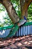 peacock στηργμένος Στοκ φωτογραφία με δικαίωμα ελεύθερης χρήσης