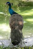 Peacock στη λίμνη στοκ εικόνες με δικαίωμα ελεύθερης χρήσης