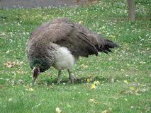 Peacock στη χλόη στοκ φωτογραφία με δικαίωμα ελεύθερης χρήσης