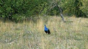 Peacock στο έδαφος του ζωολογικού κήπου φιλμ μικρού μήκους
