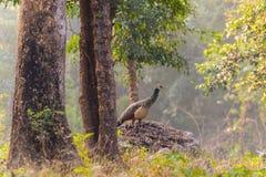 peacock στο δάσος Στοκ φωτογραφία με δικαίωμα ελεύθερης χρήσης