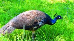 Peacock στο ζωολογικό κήπο της Φρανκφούρτης Στοκ φωτογραφία με δικαίωμα ελεύθερης χρήσης