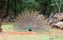 Peacock στο ζωολογικό κήπο Στοκ Φωτογραφίες
