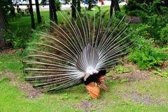 Peacock στο ζωολογικό κήπο Assiniboine, Winnipeg, Manitoba Στοκ Φωτογραφία