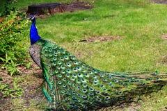 Peacock στο ζωολογικό κήπο Assiniboine, Winnipeg, Manitoba Στοκ φωτογραφία με δικαίωμα ελεύθερης χρήσης