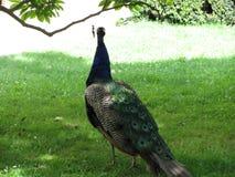 Peacock στο κεντρικό πάρκο Ευρώπη στοκ φωτογραφία με δικαίωμα ελεύθερης χρήσης