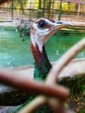 Peacock στο κλουβί στοκ εικόνες