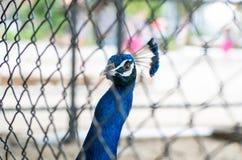 Peacock στο κλουβί Στοκ φωτογραφία με δικαίωμα ελεύθερης χρήσης