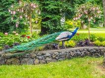 Peacock στο πάρκο στοκ φωτογραφία με δικαίωμα ελεύθερης χρήσης