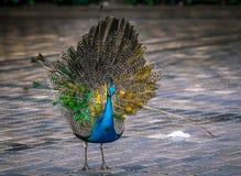 Peacock στο πεζοδρόμιο στοκ φωτογραφία