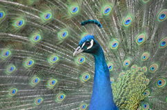 Peacock στο πρώτο πλάνο, μπλε τρόπος Στοκ εικόνα με δικαίωμα ελεύθερης χρήσης