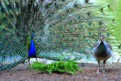 Peacock στο πλήρες θηλυκό φτερώματος attractng Στοκ Εικόνες