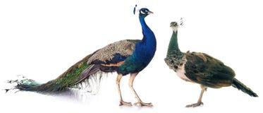 Peacock στο στούντιο Στοκ εικόνα με δικαίωμα ελεύθερης χρήσης