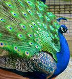 peacock υπερήφανος Στοκ Φωτογραφία
