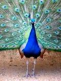 peacock υπερήφανος Στοκ εικόνες με δικαίωμα ελεύθερης χρήσης