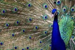 peacock υπερηφάνεια στοκ εικόνες με δικαίωμα ελεύθερης χρήσης