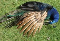 peacock ύπνος Στοκ εικόνα με δικαίωμα ελεύθερης χρήσης