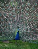 Peacock 1. Peacock displaying tail feathers Stock Photo