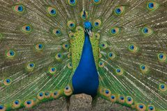Peacock. Beautiful peacock spreading his tail feathers Royalty Free Stock Photos