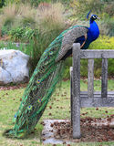 Peacock. On a bench in a park Royalty Free Stock Image