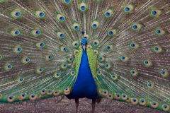 Peacock. Beautiful peacock spreading his tail feathers Royalty Free Stock Images