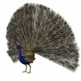 Peacock. 3D Animal Stock Photos