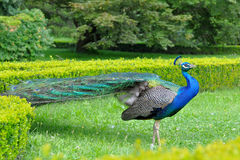 Peacock. The peacock is a very large bird, and colorful, typically bright greens and blues. Peacocks are a type of pheasant Stock Image