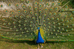 Peacock. Showing off his plumage and feathers stock image