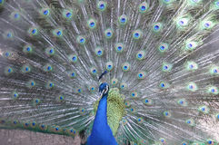 Peacock. Elegant peacock blue with open tail in birds farm Stock Photo