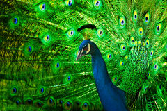 Free Peacock Stock Photo - 10881210
