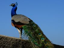 Peacock. Image of a proud peacock standing on top of a wall Stock Photo