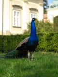 The peacock. On a garden Royalty Free Stock Photos