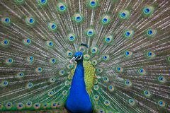 Free Peacock Stock Images - 114489934
