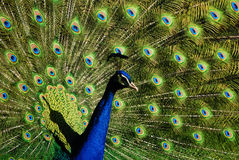 Peacock. A male Peacock showing off its tail Royalty Free Stock Photo