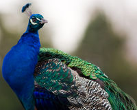 Peacock. Close up of a colorfull peacock Stock Images