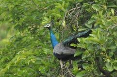 peacock fotos de stock