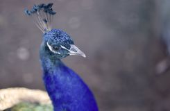 Peacock closeup with blue feathers . royalty free stock photo