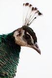Peacock. A peacock on the white background royalty free stock photo