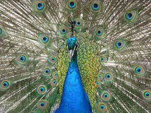 Peacock. Medium shot of a peacock with its tail straight, taken at the Palace of Fontainebleau (France Stock Photography