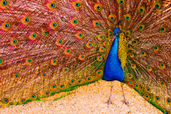 Peacock. A colorful peacock showing his beautiful plumage Royalty Free Stock Images