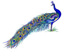 Free Peacock Stock Image - 13529801