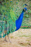 Peacock. Royalty Free Stock Photos