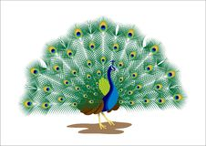 Free Peacock Stock Images - 13782394